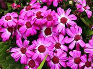 路旁可爱迷人的紫色菊花特写图片