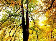 初冬的银杏树摄影图片
