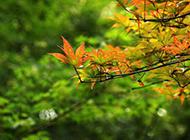 满树好看的枫叶摄影图片