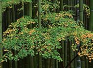 秋天降临后的美丽竹子图片