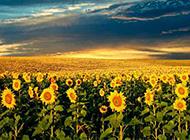 夢幻迷人的唯美向日葵花海圖片