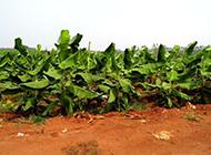农村种植的香蕉幼苗图片