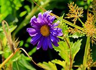 一朵紫色的野菊花图片