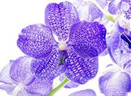 俏丽素雅的紫色蝴蝶兰图片