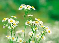 清新淡雅好看的雏菊植物图片