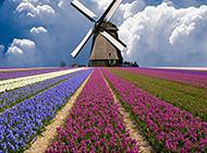 五彩斑斕的草本植物風信子圖片