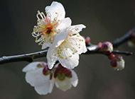 梅花冬季鲜花图片大全