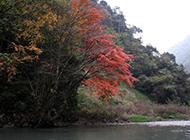 河边的枫叶树图片
