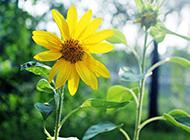 唯美的向日葵高清图片赏析