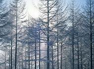 不惧严寒的松树林图片