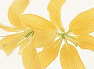 两朵黄百合花瓣图片