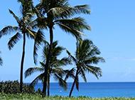 澳洲棕櫚樹圖片隨風飄曳