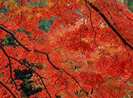 一树火红的枫叶图片