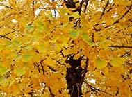 银杏树叶精美特写素材