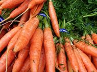 新鲜的胡萝卜蔬菜图片