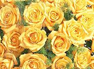 美丽动人的黄玫瑰高清电脑桌面壁纸