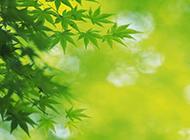 绿色枫叶植物图片精选壁纸