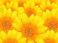 向日葵花黄色鲜花图片背景