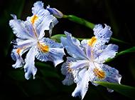 漂亮的法国国花鸢尾花图片观赏