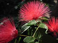 合欢花美丽花开图片欣赏