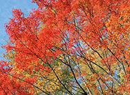 秋季樹姿優美的楓樹圖片