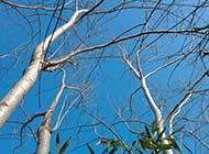 白楊樹壯實樹枝圖片
