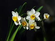 水培水仙花图片典雅高贵