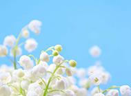 唯美夢幻的鈴蘭花圖片
