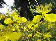 黃燦燦的金銀花圖片