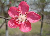 鲜艳动人的桃花特写图片