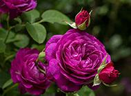 唯美的單朵紫色玫瑰圖片賞析