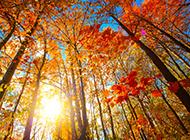 秋天梧桐樹圖片風景迷人