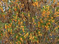 香气柔和的金桂花图片