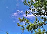 四季常青的松樹高清圖片