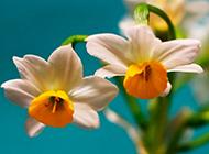 盆景水仙花图片俏丽素雅