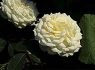 纯白的月季花高清图片素材