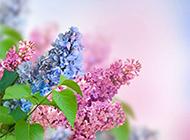 美麗動人的丁香花圖片