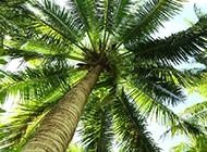 棕櫚樹高清圖片蒼翠挺拔