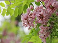 一串串粉紅的洋槐花圖片