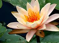 唯美的大自然植物睡莲图片