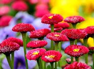 春天红艳艳的菊花图片