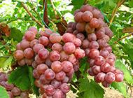 丰收的红提葡萄高清影图片