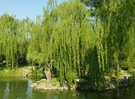 湖边柳树风景图片青翠嫩绿