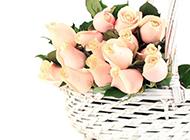 優雅美麗的香檳玫瑰圖片