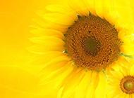 唯美向日葵背景图片素材