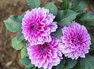 紫色大丽花图片颜色娇艳
