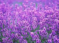 一片紫色薰衣草花海圖片