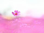 清新美丽的格桑花植物图片
