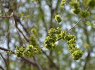 嫩綠清新的山榆樹圖片