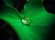 绿色荷叶上的水滴清新植物图片素材